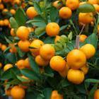 Sevilla wekt schone energie met bittere sinaasappels van sierbomen