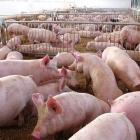 Opnieuw schokkende beelden uit Spaanse varkensboerderijen